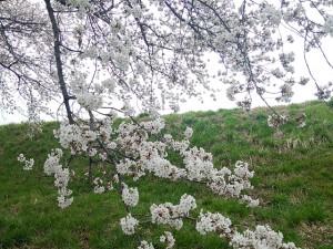 長野県 長野平青学園 アークスの桜